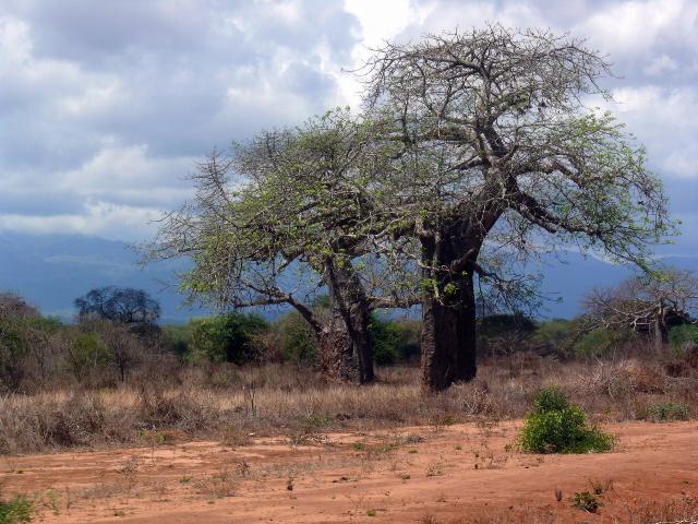 Monkeybread-tree