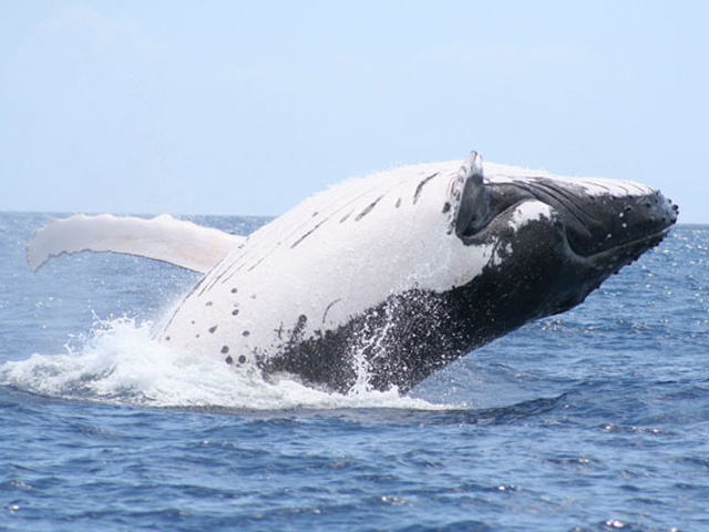 Whale Hervey Bay