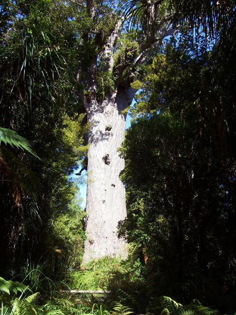 Forêt Waipoua