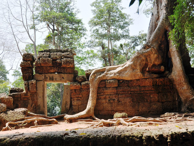 Shoe root, Ta Prohm