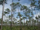 Pine rockland, Everglades National Park