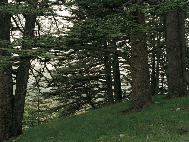 Cedars of God