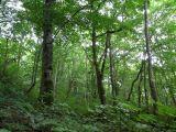 Shirakami Beech Trees