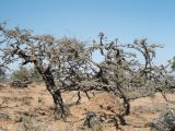 Frankincense trees, Land of Frankincense