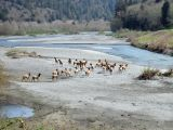 Red Deer, Redwood National and State Parks