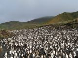 Royal penguin rookery