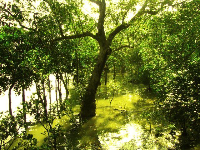 Sundari trees