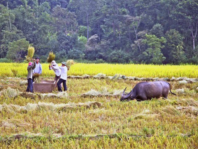 Vannage du riz