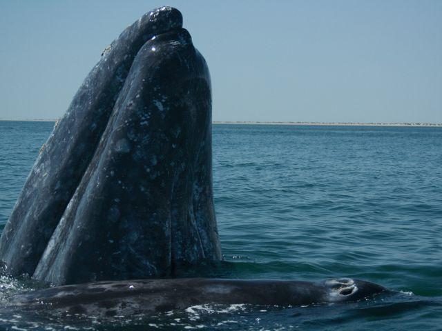 Sanctuaire de baleines d'El Vizcaino
