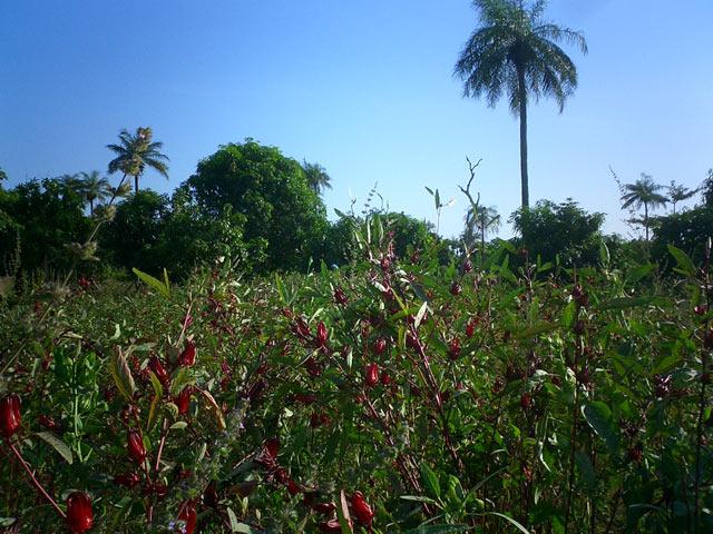 Bissap field