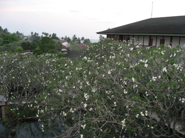 White araliya