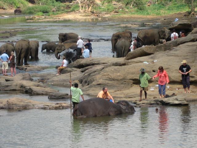 Orphelinat d'éléphants de Pinnawela