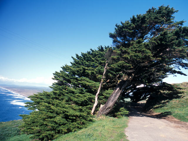 Windblown tree coast