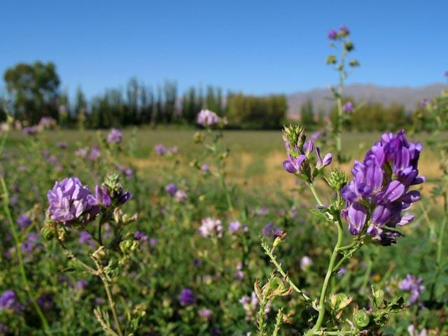 Plantacion de alfalfa