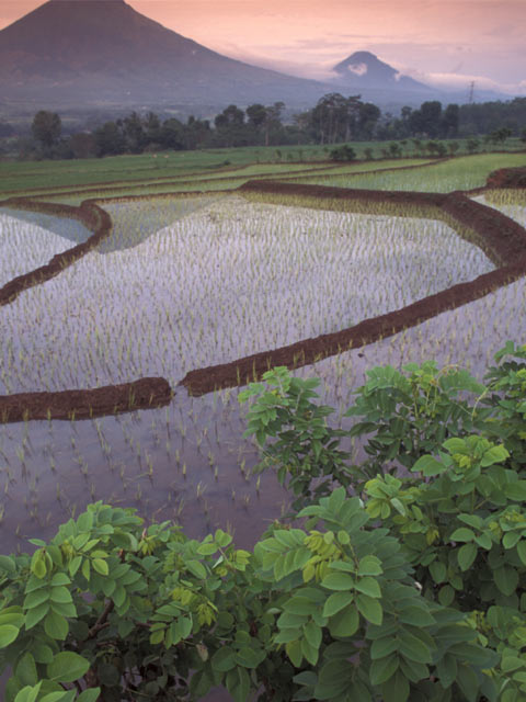 Category Java Rice fields