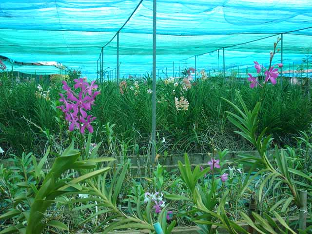 Udon Sunshine Fragrant Orchid Farm